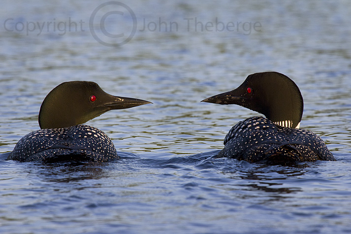 07-01-12-Two-Loons